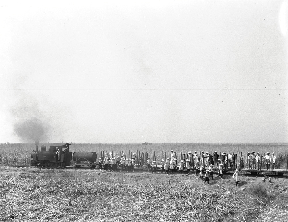 早期臺灣採收甘蔗